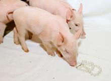 Pearls And Swine